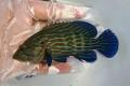※SALE アオスジハタ幼魚【仕入れ個体】 ※10センチ程度 ※5/5入荷