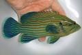 アオスジハタ中成魚【仕入れ個体】 ※17センチ程度 ※3/15入荷 ※クリルOK
