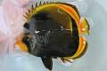 ブラックバタフライ成魚 【ニューカレドニア産】 ※14センチ程度 ※4/26入荷