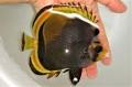 ブラックバタフライ中成魚 【ニューカレドニア産】 ※13センチ程度 ※4/24入荷
