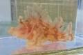 ボロカサゴSP(薄ピンク) 【仕入れ個体】 ※12センチ程度 ※11/13入荷