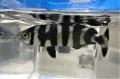 ※珍 ブリモドキ幼魚 【近海仕入れ個体】 ※12センチ程度 4/12入荷