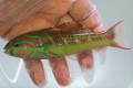 ハコベラ 【仕入れ個体】 ※15センチ程度 ※6/23入荷 S梱包