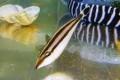 ※レア ハナツノハギ幼魚 【仕入れ個体】 ※8センチ程度 ※7/28入荷 ※3匹までS梱包 ※各種人工飼料OK