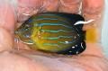 【粒餌OK】キンチャクダイ幼魚D【九州産ハンドコート】 7〜8センチ程度 ※10/6入荷
