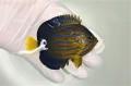 キンチャクダイ幼魚C【青海島ハンドコート】 8センチ程度 ※8/2採取 ※冷凍ブラインOK、メガバイト餌付け中