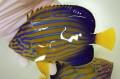 ※採れたて キンチャクダイ中成魚B【青海島ハンドコート】 17センチ程度 ※10/11採取