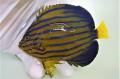 ※採れたて キンチャクダイ中成魚C【青海島ハンドコート】 14センチ程度 ※10/11採取