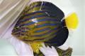 ※採れたて キンチャクダイ中成魚D【青海島ハンドコート】 12センチ程度 ※10/11採取 Y様ご売約