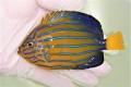 キンチャクダイ中成魚H【青海島ハンドコート】 10センチ程度 ※11/13採取 餌付け前の価格です