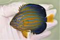 キンチャクダイ中成魚J【青海島ハンドコート】 10センチ程度 ※11/13採取 餌付け前の価格です