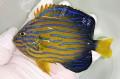 キンチャクダイ中成魚【青海島ハンドコート】 10センチ程度 ※8/2採取 ※冷凍ブラインOK、メガバイト餌付け中