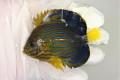 キンチャクダイ幼魚A【近海産仕入れ個体】 7センチ程度 ※7/14入荷 ※メガバイトS粒OK