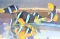 屋久島産クマノミペア 【屋久島ハンドコート】 ※10センチ程度 ※8/27出品