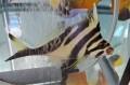 ミギマキ幼魚【近海ハンドコート】※15センチ程度 ※6/11入荷