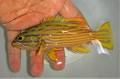 ミナミハタ幼魚 【仕入れ個体】 ※15センチ程度 ※12/27入荷 ※売約済