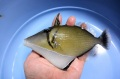 ムスメハギ成魚【屋久島産ハンドコート】 18センチ程度 ※シュアー良く食べています ※6月採取10/12出品