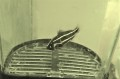 SOLDOUT ※レアサイズ ヌノサラシベビー 【薩南諸島ハンドコート】 ※2センチ程度 ※12/1採取