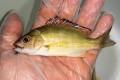オキフエダイ幼魚 【薩南諸島ハンドコート】 ※5〜8センチ程度 ※12/3入荷
