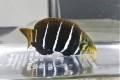 シマタレクチベラ幼魚【仕入れ個体】 ※8センチ程度 ※4/12入荷