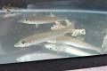 シロギス幼魚【日本海ハンドコート】※10~15センチ程度 ※7/2出品 水槽で1ヶ月飼育し各種人工飼料に慣れた個体です