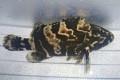 ※珍 タイガーグルーパー 大(タマカイ×アカマダラハタ) 【仕入れ個体】 ※18センチ程度 4/6入荷