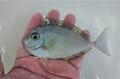 SOLDOUT ツマリテングハギ?幼魚 【バリ産仕入れ個体】※7~8センチ程度 6/3入荷
