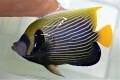 タテジマキンチャクダイ特大 25~28センチ程度 【屋久島産ハンドコート】 ※3/18採取、5/17出品 粒餌、他何でも食べます。