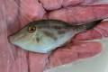 ウマヅラハギ幼魚 【青海島ハンドコート】 ※9センチ程度 ※7/13入荷