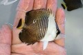 ホワイトフェイスバタフライ 幼魚A 【紅海】 ※7センチ程度 ※2/16入荷 可愛いサイズが入荷しました