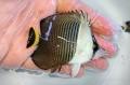 ホワイトフェイスバタフライ 幼魚B 【紅海】 ※7センチ程度 ※2/16入荷 可愛いサイズが入荷しました