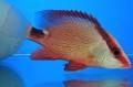 ヨコフエダイ幼魚 【仕入れ個体】 ※10センチ程度 ※5/13入荷 ※何でも食べます