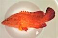 ユカタハタ特大 【鹿児島産漁網個体】 ※30センチ程度 ※3/2出品 画像は同等個体