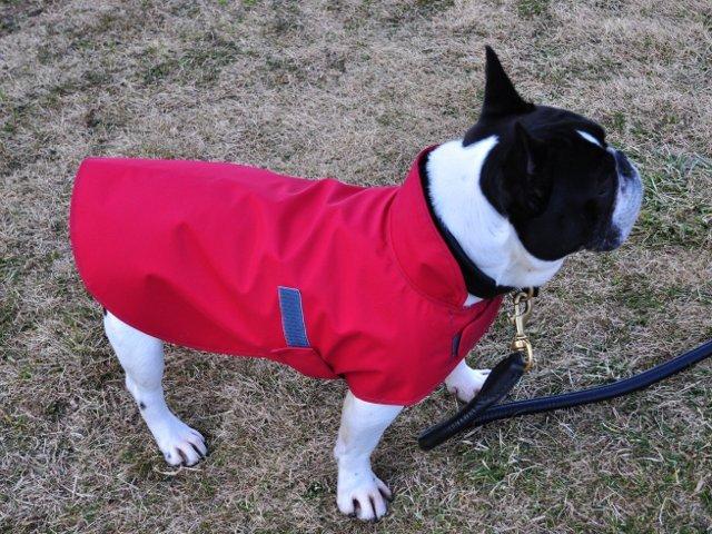 赤いレインコート着用のフレンチブルドッグ
