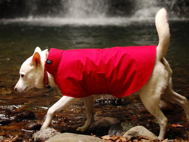 赤いレインコートを着た紀州犬