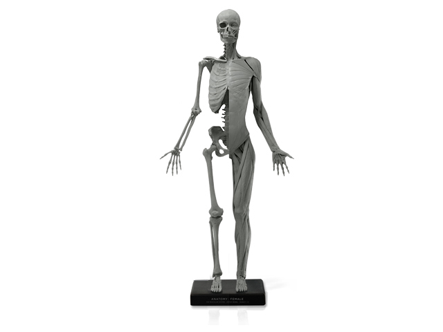 アナトミー 人体模型 女性 アートプロ