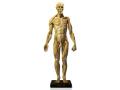 アナトミー 人体模型 男性 一般モデル
