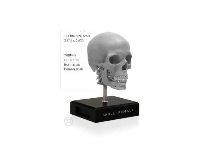 アナトミー 人体模型 男性 スカル