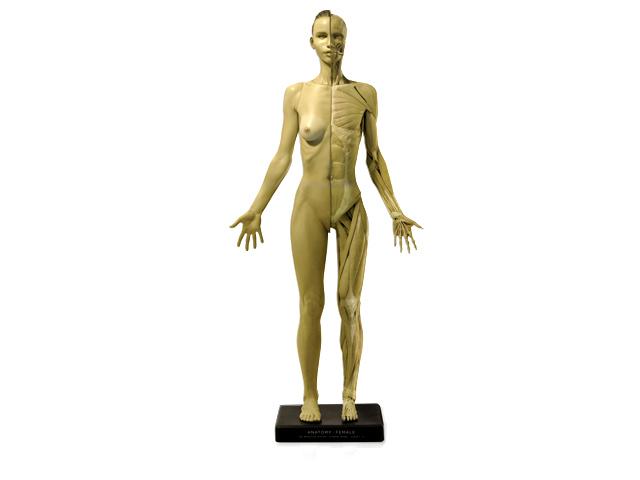 アナトミー 人体模型 女性 一般
