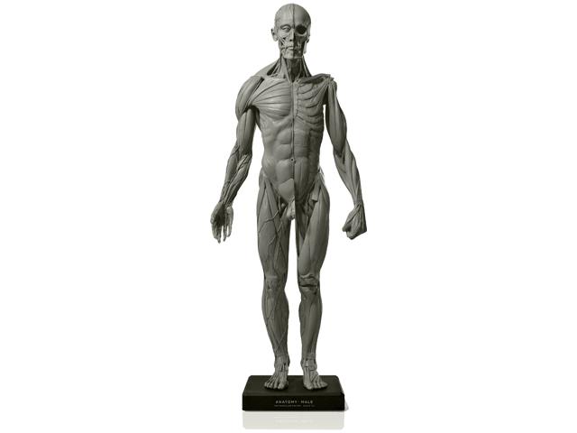 アナトミー 人体模型  男性アートプロモデル