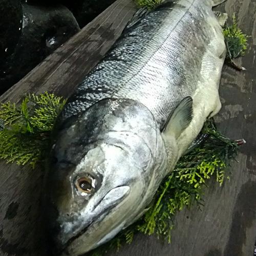 【業務用】新巻鮭 【北海道産】 新巻鮭 5本(10kg) 1本あたり 2.0kg前後 贈り物にも