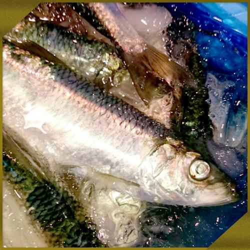 【鮮魚】活〆生ニシン 5kg箱(18尾前後)