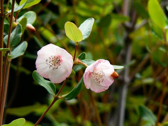 leatherwood_flower