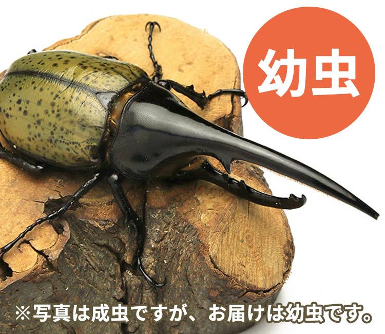 ヘラクレス・ヘラクレス幼虫(太血統) 販売 通販 専門店 購入