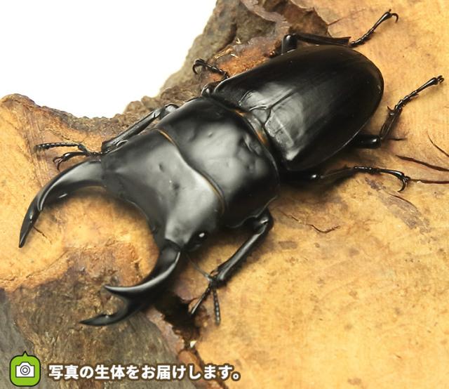 国産オオクワガタ 兵庫県阿古谷産 販売 通販 専門店 購入