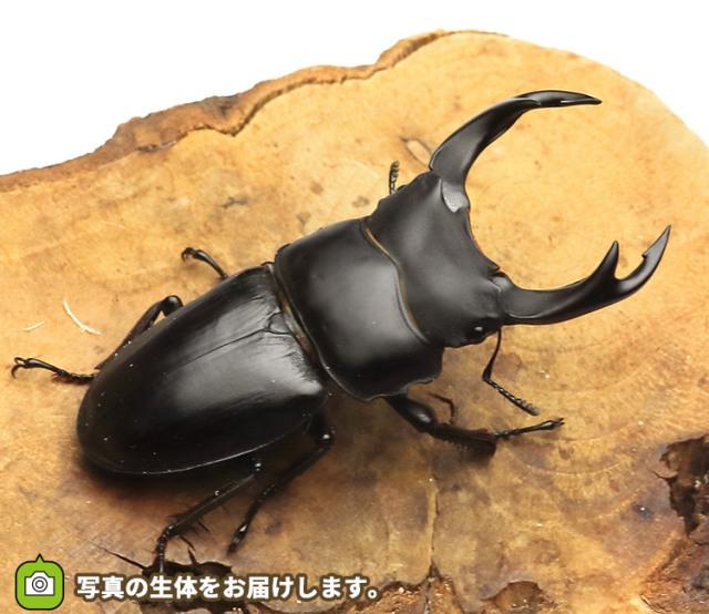 国産オオクワガタ 愛知県産 販売 通販 専門店 購入