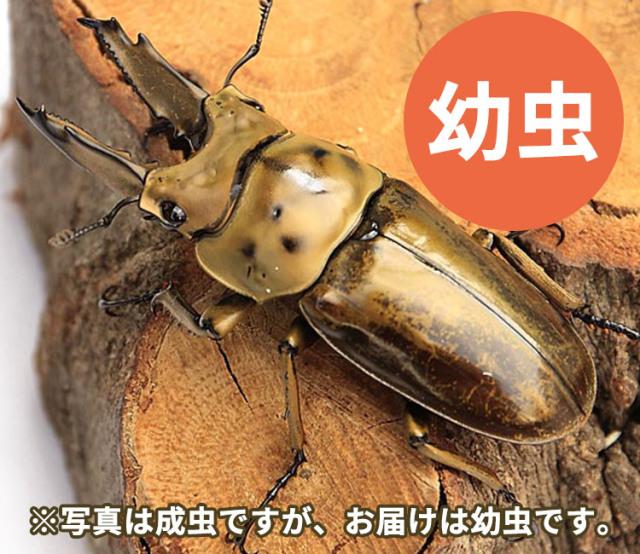 ババオウゴンオニクワガタ幼虫 販売 通販 専門店 購入
