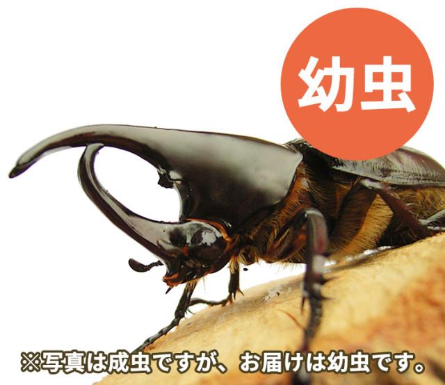 フローレンシスニセヒメカブト 幼虫 販売 通販 専門店 購入