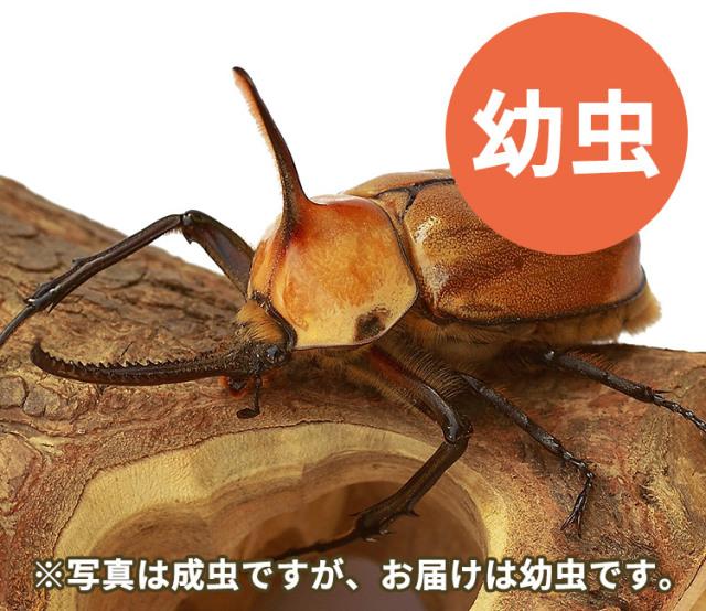 ゴロファ・ポルテリ幼虫 販売 通販 専門店 購入