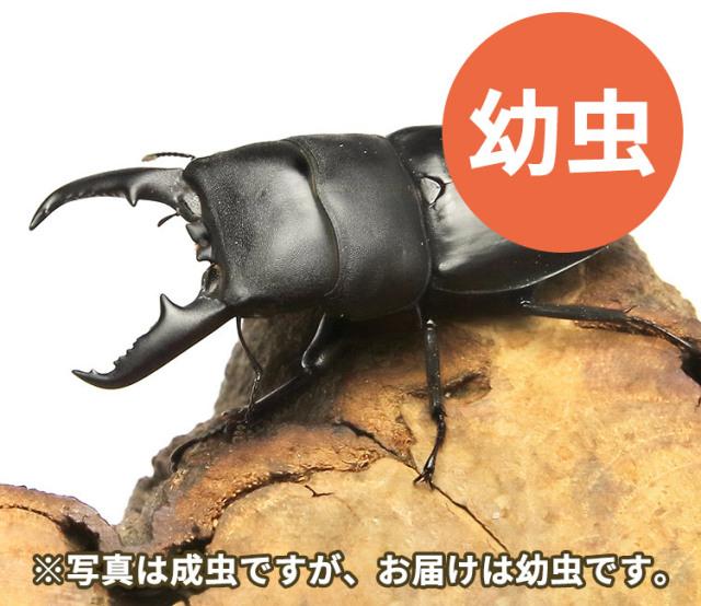 本土ヒラタクワガタ幼虫 販売 通販 専門店 購入
